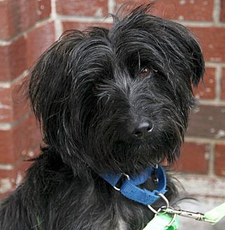 Terrier (Unknown Type, Small) Mix Dog for adoption in Harrison, New York - Polo