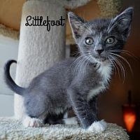 Adopt A Pet :: Littlefoot - Chandler, AZ