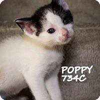 Adopt A Pet :: Poppy - Spring, TX