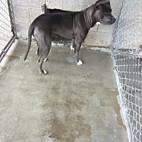 Adopt A Pet :: Bandit - Alturas, CA