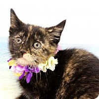 Adopt A Pet :: Raven - Harrisonburg, VA