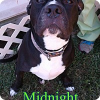 Adopt A Pet :: Midnight - Pensacola, FL