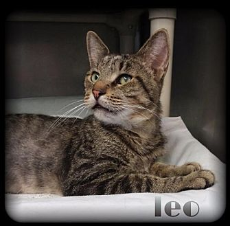 Domestic Shorthair Cat for adoption in Hartford City, Indiana - Leo