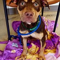 Adopt A Pet :: Rosey - Folsom, LA