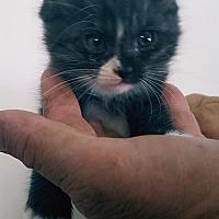 Adopt A Pet :: Furby - Tampa, FL