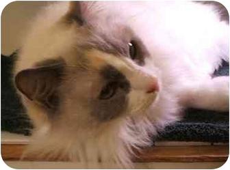 Ragdoll Cat for adoption in Keizer, Oregon - Sadie