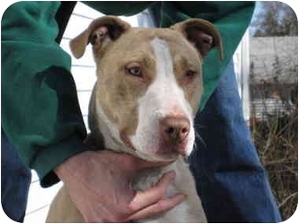 Bull Terrier/American Staffordshire Terrier Mix Dog for adoption in Long Beach, New York - Momo
