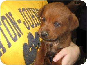 """Cane Corso/Rottweiler Mix Puppy for adoption in Henderson, North Carolina - The """"R"""" pups"""