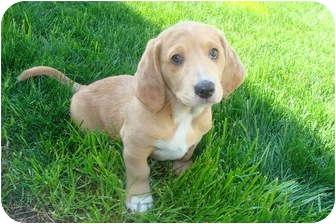 Basset Hound/Australian Shepherd Mix Puppy for adoption in Tustin, California - Scooter