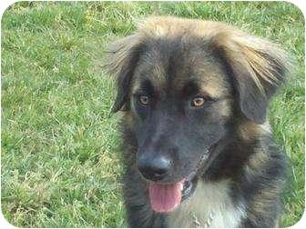German Shepherd Dog/Golden Retriever Mix Dog for adoption in Portland, Maine - Meridian
