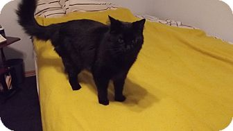 Domestic Longhair Cat for adoption in Stockton, Missouri - Buddy