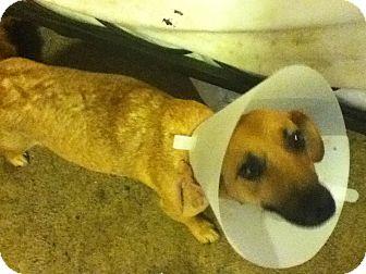 Corgi Mix Dog for adoption in Corona, California - GIRLIE GIRL