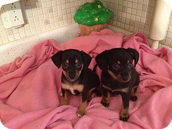 Chihuahua/Dachshund Mix Puppy for adoption in ST LOUIS, Missouri - DAVEY
