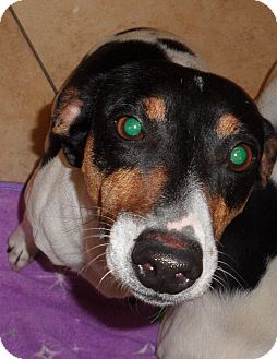 Jack Russell Terrier/Rat Terrier Mix Dog for adoption in Scottsdale, Arizona - ZEUS II