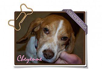 Beagle Dog for adoption in Portland, Oregon - Cheyenne