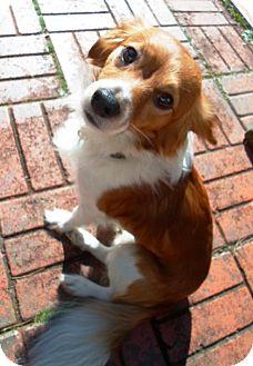 Cocker Spaniel Mix Dog for adoption in Harrisonburg, Virginia - Randy