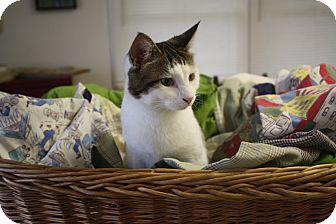 Domestic Shorthair Cat for adoption in Marietta, Georgia - Audrey Hepburn