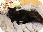 Turkish Angora Kitten for adoption in Pittstown, New Jersey - Diesel