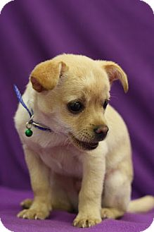 Chihuahua Mix Puppy for adoption in Broomfield, Colorado - Rockie