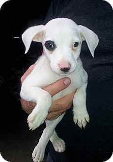 Rat Terrier/Catahoula Leopard Dog Mix Puppy for adoption in Groton, Massachusetts - Target