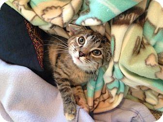 Domestic Shorthair Kitten for adoption in Nashville, Tennessee - Sylvie