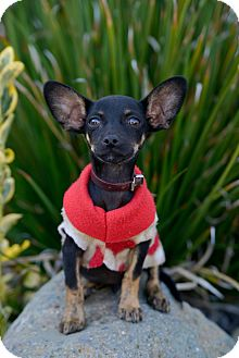 Chihuahua Puppy for adoption in Long Beach, California - TOBY