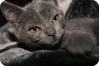 Russian Blue Kitten for adoption in Trevose, Pennsylvania - Teddy