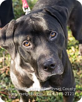 Labrador Retriever Mix Dog for adoption in Somerset, Pennsylvania - Chuck