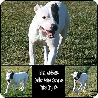 American Pit Bull Terrier Mix Dog for adoption in Yuba City, California - 01/23 Clover