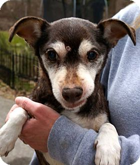 Chihuahua Dog for adoption in Woodlyn, Pennsylvania - CoCo