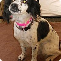 Adopt A Pet :: Springer Spaniel X - Aloha, OR