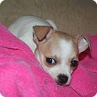 Adopt A Pet :: Cricket - Westfield, IN