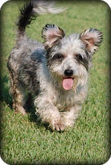 Schnauzer (Miniature)/Westie, West Highland White Terrier Mix Dog for adoption in Grand Bay, Alabama - Slator