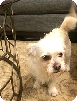Terrier (Unknown Type, Small)/Chihuahua Mix Dog for adoption in Chicago, Illinois - Petey
