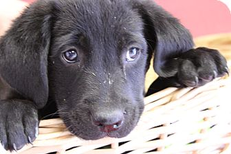 Labrador Retriever Mix Puppy for adoption in Waldorf, Maryland - Lucky
