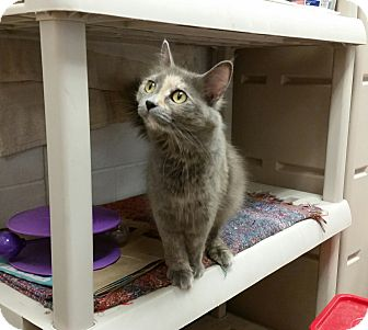 Domestic Mediumhair Cat for adoption in East Hartford, Connecticut - Catina--in CT