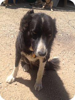 Border Collie Dog for adoption in San Pedro, California - BELLA (Courtesy List)