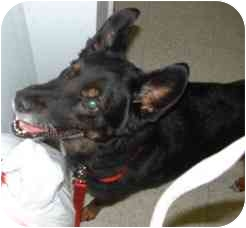 German Shepherd Dog Mix Dog for adoption in Chicago, Illinois - Chewie