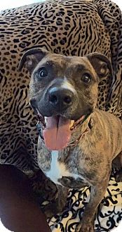 American Pit Bull Terrier Mix Dog for adoption in New Canaan, Connecticut - Violet