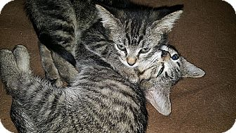 Domestic Shorthair Kitten for adoption in Tampa, Florida - Piper