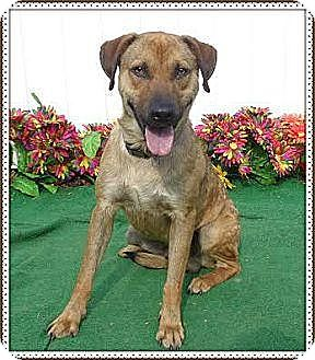 Labrador Retriever/Shepherd (Unknown Type) Mix Dog for adoption in Lebanon, Maine - Buster-LOCAL