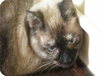Siamese Cat for adoption in DeLand, Florida - DIVA