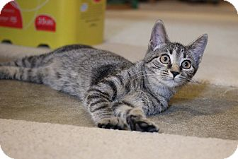 Domestic Shorthair Kitten for adoption in Carlisle, Pennsylvania - Tawny