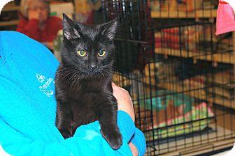 Domestic Shorthair Kitten for adoption in Rochester, Minnesota - Teddy
