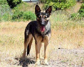 German Shepherd Dog Dog for adoption in San Diego, California - Olive