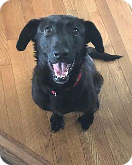 Labrador Retriever Mix Dog for adoption in Pottstown, Pennsylvania - Julia