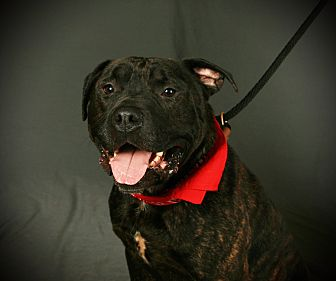Pit Bull Terrier Mix Dog for adoption in Toms River, New Jersey - Buster