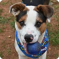 Adopt A Pet :: Boscoe - Decatur, GA