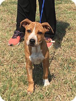 Pit Bull Terrier/Labrador Retriever Mix Puppy for adoption in Perkins, Oklahoma - Sadie