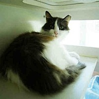 Domestic Mediumhair Cat for adoption in Long Beach, California - GEORGE